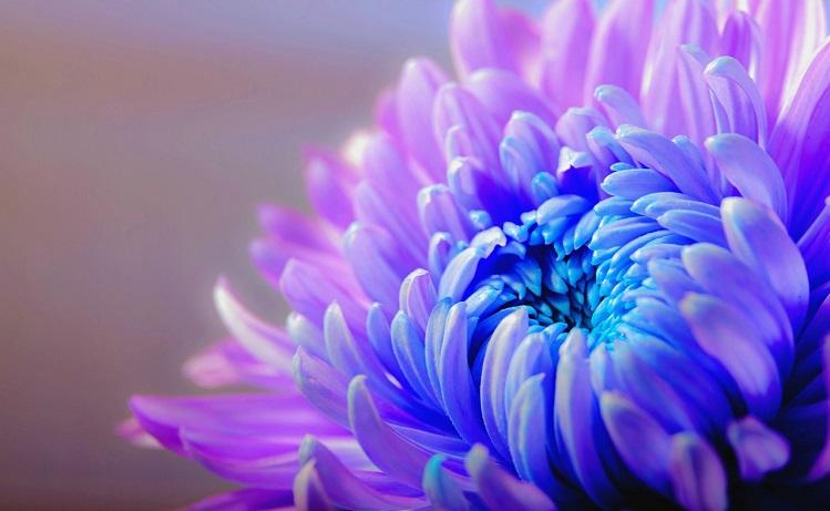 chrysanthemum-1332994_1280