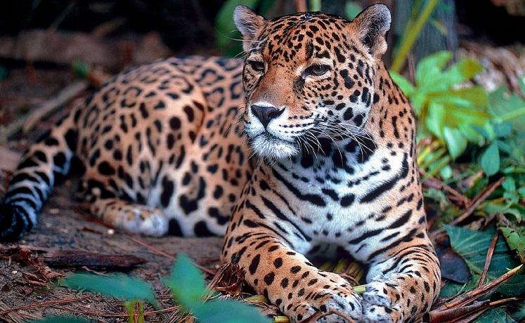 jaguar-1377982_1280