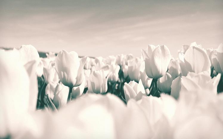 tulips-1375821_1280