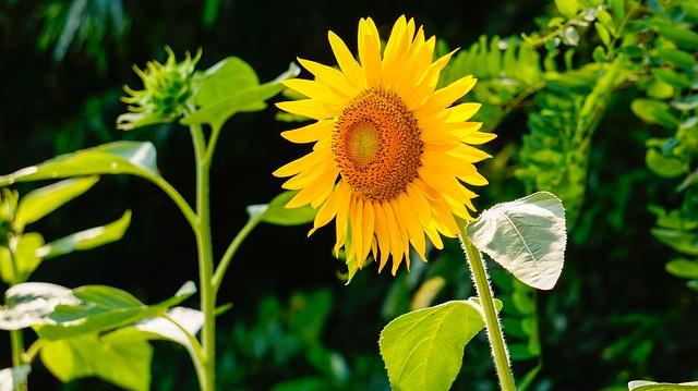 sunflower-290496_640
